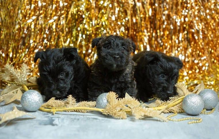 Black Terriers